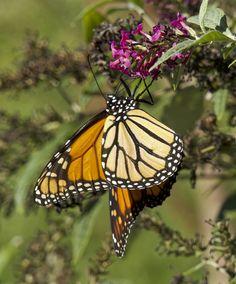 https://flic.kr/p/NsdvoG | Monarch Butterfly