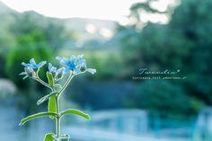 道のりを記憶に残して: 9月の庭の花達、ミニバラ・バーベナ・ブルースター。朝・夕の光と一緒に/花・ガーデニング