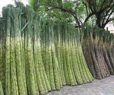 """Traditional Sugar Cane   When the author of the book """"Sweetness and Power"""" was in the Caribbean, North American owned a vast majority of the land that was covered in sugar cane. Puerto Rico was not a major consumer of the sugar cane, but produced it for consumers in other places. Without these consumers, the huge quantities of land, labor and capital would not have gone into the sugar cane industry."""