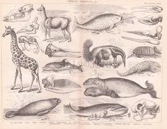 ANTIQUE MAMMAL PRINT Giraffe Narwhal Whale Blue by GinAndJunk Types Of Whales, Animal Plates, Narwhals, Blue Whale, Antique Books, Animal Prints, Mammals, Boudoir, Giraffe