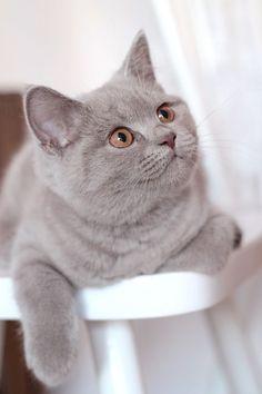 Lilac brit - dat is de volgende kleur die ik in huis haal,soo cute!!!