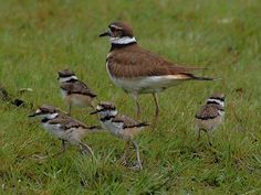 Ridiculous broken wing act that the parents put on to distract you from their babies.   killdeer+bird   Killdeer Family - Submit an Entry: Your Bird Family Photos