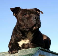 Staffordshire Bull Terrier. very nearly bought one of these beasts