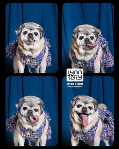 Pin for Later: 12 Pictures of Dogs in Photo Booths — You're Welcome When you take over the photo booth for a solo shoot. Mastador Dog, Cavoodle Dog, Cute Dogs And Puppies, Baby Dogs, Doggies, Dog Photos, Dog Pictures, Pappillon Dog, Koolie Dog