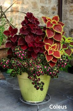 7 Are coleus plants poisonous? 8 Where does coleus plant grow? 9 What are the benefits of coleus plants? Companion plants Coleus is often used as ornamental plants because Container Flowers, Flower Planters, Garden Planters, Shade Plants Container, Fall Flower Pots, Fall Planters, Gnome Garden, Planter Pots, Outdoor Flower Pots