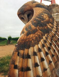 """Serrations on the leading edge of a Barn Owl's primary flight feather, which contributes to silent hunting. Lots to admire about a Barn Owl wing. Beautiful Owl, Animals Beautiful, Cute Animals, Eagle Animals, Majestic Animals, Beautiful Cakes, Funny Animals, Owl Wings, Especie Animal"