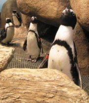 Live Penguin Webcams from @Dee Armstrong Hobbs Academy of Sciences >> Listen during feeding times, everyday at 10:30am and 3:00pm PST as Academy biologists answer questions from visitors.
