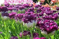 Tulip Blue Wow - Flower Bulbs | DutchGrown®