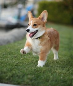 10 Cool Facts About Corgis - Dogs Tips & Advice | mom.me Just adore these dogs...the epitome of happiness ♡