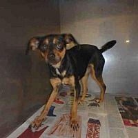 Los Angeles, California - Chihuahua. Meet A1744804, a for adoption. https://www.adoptapet.com/pet/20200796-los-angeles-california-chihuahua