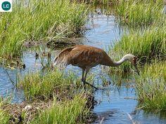 https://www.facebook.com/WonderBirds-171150349611448/ Sếu đồi cát; Họ Sếu-Gruidae; Bắc Mỹ || Sandhill crane (Grus canadensis); IUCN Red List of Threatened Species 3.1 : Least Concern (LC)(Loài ít quan tâm)