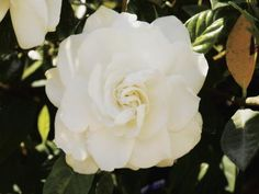 Gardenias (Gardenia jasminoides) are prized for their strong fragrance and creamy-white blooms set off by glossy dark-green foliage.  However, they have a reputation for being finicky plants that ...