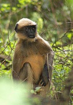 El langur gris de pies negros (Semnopithecus hypoleucos) es una especie de primate catarrino de la familia Cercopithecidae.2 Esta especie, como los otros langures grises, es un folívoro que habita al sudoeste de la India, a lo largo de los Ghats occidentales. Su rango altitudinal oscila entre 100 y 1200 msnm.1