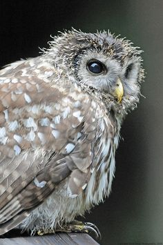 Owl by DavidReedPhotos via Flickr