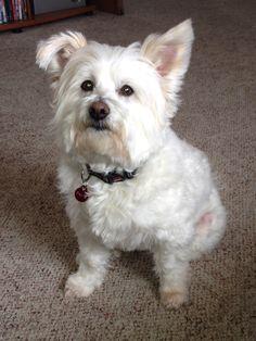 Pomeranian & Bichon frise mix Dallas, my baby boy!