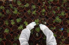Israeli medical marijuana goes global