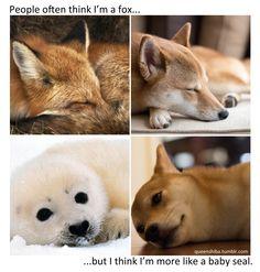 What Shiba Inu's are like