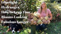 Most recent Free of Charge limelight Hydrangeas Ideas If you want a yard bloom together with exhibit overall appeal, hydrangea blossoms usually are absolu Nikko Blue Hydrangea, Hydrangea Bloom, Limelight Hydrangea, Hydrangea Colors, Hydrangea Care, Hydrangea Flower, Propagating Hydrangeas, Hydrangea Macrophylla, Flower Farm