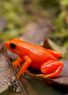 Monteverde's Golden Toad in Monteverde Cloud Forest Reserve, Costa Rica - seems more orange...