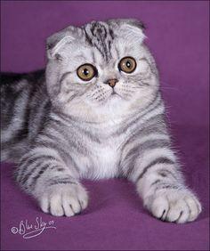 Scotish Fold Cat                                                                                                                                                                                 More