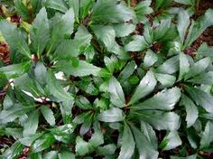 Helleborus niger leaves are pedately lobed, leathery, dark green.