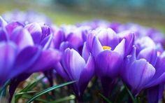 Bunga violet, jika tumbuh subur di taman, akan membuat taman rumah telihat sangat cantik.