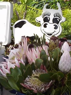 Moo-Lawn and Protea from Kona Mauka.