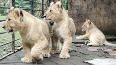 3 Bayi Singa nan Lucu Milik Taman Safari II Prigen