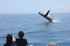 Epic breach! #whalewatching #herveybay #humpbackwhales