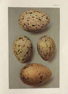 Original vintage egg print ornithology 1908 by Thepapermuseum, $17.00
