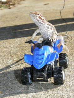 They're totally game to go 4-wheeling on the weekends. | Community Post: 21 Reasons You Need To Start Hanging Out With Bearded Dragons