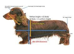 """""""Quick Reference Guide to Breed Standard for Miniature Long Haired Dachshunds"""""""