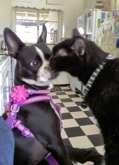"""My Boston Terrier, """"Figgy"""", and my Mother's black cat """"Wish"""".  The two get along well, despite the facts that, Wish invades personal space and Fig is prone to boisterous play."""