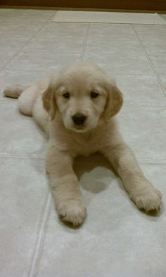 golden retriever #puppy - This one. I want to sleep with him. My husband won't mind, right?