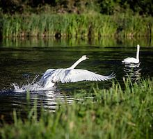 Swan landing on river by johnecclesphoto