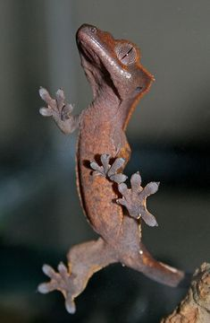 ˚Rio the Gecko Cute Reptiles, Reptiles And Amphibians, Mammals, Cute Lizard, Cute Gecko, Lizard Species, Pet Lizards, Crested Gecko, Beautiful Snakes