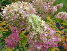 Hydrangea paniculata fading blooms look lovely for weeks in the autumn