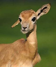 Image result for adorable baby gazelle