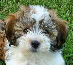 Havanese- the only small pup I would ever consider getting!