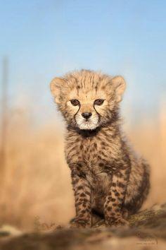 Cheetah Baby ¤ Wraunnnnn - Wild Felines