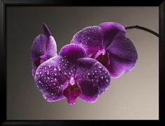 Gotas de água em orquídeas Impressão fotográfica na AllPosters.com.br