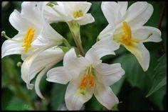Azucenas blancas. Lilium longiflorum