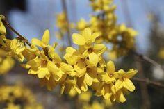 Flores do Forsythia geralmente duram de duas a três semanas.