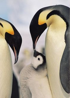 Emperor Penguin Parents With Chick Greeting Card for Sale by Konrad Wothe Emperor Penguin Parents With Chick Greeting Card for Sale by Konrad Wothe Chris Jung Pinguine Emperor Penguin Parents With Chick Travel Photography March Of The Penguins, Baby Penguins, Wildlife Photography, Animal Photography, Travel Photography, Nature Animals, Animals And Pets, Animals Images, Beautiful Birds