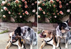 sweet pups and roses from Saipua