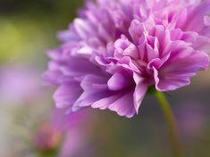 Blumenbilder-Harmonie in Rosa-Tönen.