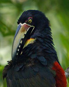 Collared Aracari. Central America, northern S America, S Mexico