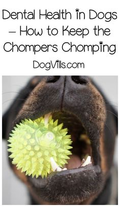 What do you do when your teething or elderly pooch starts losing those chompers Check out our dog health tips to find out