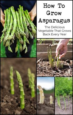 Asparagus is one of the most nutritionally well-balanced vegetables around. Why not try and grow it yourself at home.