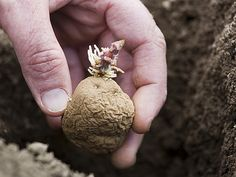 Planter la pomme de terre  En début de printemps, ne vous pressez pas pour planter. Originaires des Andes, comme le haricot ou la tomate (également une Solanacée), les pommes de terre apprécient les conditions climatiques qui accompagnent la floraison des lilas. Attendez donc que votre terre soit bien ressuyée et que sa température ait atteint 10 °C environ.